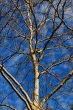 Céu e árvore do inverno Fotografia de Stock