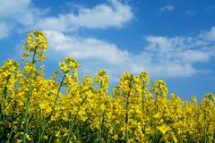 Céu e couve-nabiça Imagem de Stock