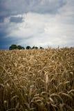 Céu escuro sobre o campo de milho imagem de stock royalty free