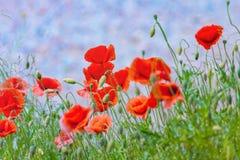 Céu floral da grama das papoilas do fundo imagens de stock