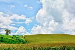 Céu nebuloso de campo de milho Imagem de Stock