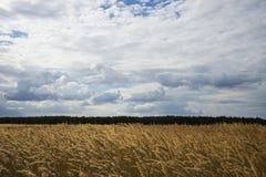Céu/nuvens/grama/floresta/árvores dos spikelets/ Fotos de Stock Royalty Free