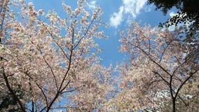 Céu que alcança as flores de cerejeira vídeos de arquivo