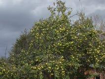 Céu tormentoso escuro do outono com nuvens e a árvore de maçã amarela velha pomar de Apple selvagem imagem de stock royalty free