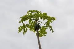 Céu verde e azul de árvore de papaia imagem de stock royalty free