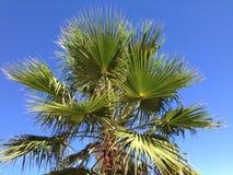Céus azuis da palmeira Fotos de Stock Royalty Free