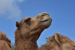Céus bonitos de Shaggy Camel With Stunning Blue imagens de stock royalty free