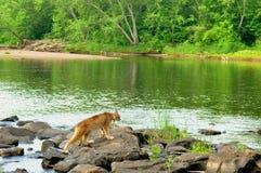 Cênico - o lince de Beatufiul cruza um rio Fotografia de Stock Royalty Free