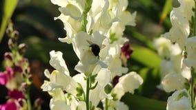 Cíclame com flores brancas vídeos de arquivo