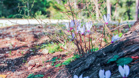 Cíclame de florescência na floresta Imagens de Stock