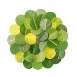 Círculo de las hojas tajadas aisladas en blanco Foto de archivo libre de regalías
