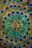Círculo de las plumas del pavo real Foto de archivo