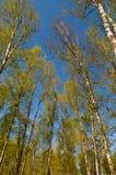 Círculo de vidoeiros da mola Fotografia de Stock