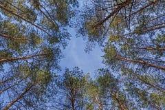 Círculo del cielo azul entre árboles de pino imágenes de archivo libres de regalías