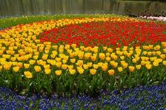 Círculos do Tulip Imagens de Stock