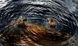 Círculos em torno de dois patos na água do lago, geométrica imagem de stock