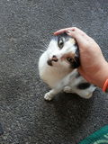 Cómo acariciar su gato Foto de archivo