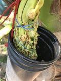 Cómo coger la savia del árbol de coco Fotografía de archivo libre de regalías