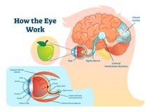 Cómo el ejemplo médico del trabajo del ojo, observa - diagrama del cerebro libre illustration