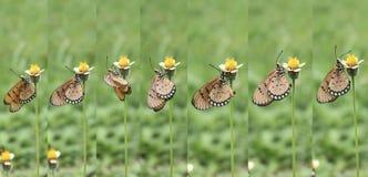 Cómo la mariposa goza del néctar de la flor fotos de archivo