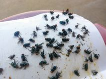 Cómo librarse de moscas/mucho mosca atrapada en el pegamento del Libro Blanco imagen de archivo libre de regalías