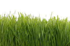 Campo de trigo verde imagenes de archivo