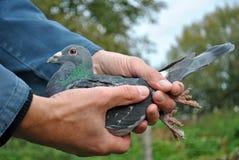 Cómo sostener una paloma en su mano Fotografía de archivo