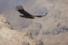 Cóndor andino - Chile Imágenes de archivo libres de regalías