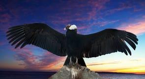 Cóndor andino contra el cielo de la puesta del sol Fotos de archivo
