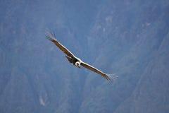 Cóndor del vuelo sobre el barranco de Colca en Perú, Suramérica. Fotos de archivo libres de regalías