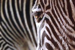 Cópia do animal vivo das listras da zebra imagens de stock