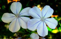 Cópias das belas artes do papel de parede do fundo da flor da plumbagina fotos de stock