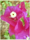 Cópias das belas artes do papel de parede do fundo da flor selvagem de Bugambilia imagem de stock