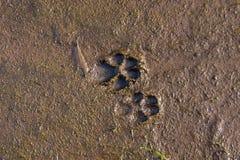 Cópias do cão na lama fotografia de stock