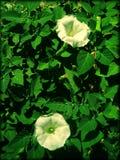 Cópias macro das belas artes do papel de parede do fundo da flor do stamonium do estramônio imagem de stock