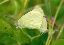Cópula das borboletas na natureza imagens de stock