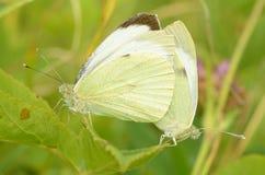 Cópula das borboletas na natureza foto de stock