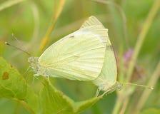 Cópula das borboletas na natureza foto de stock royalty free