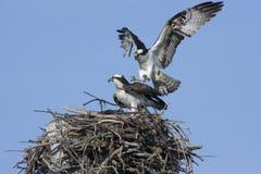 Cópula do Osprey imagens de stock royalty free