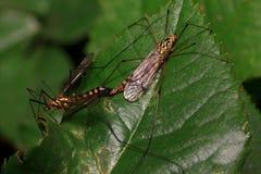A cópula dos craneflys em uma folha verde Praga da agricultura e das florestas imagem de stock royalty free