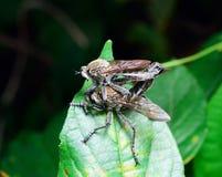 Cópula dos pares do scolopaceus de Rhagio da mosca fotos de stock royalty free
