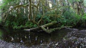 Córrego calmo no parque nacional da sequoia vermelha, Califórnia vídeos de arquivo