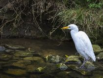Córrego com vadear o grande Egret fotografia de stock
