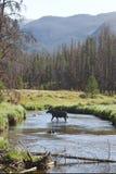 Córrego do cruzamento dos alces no vale da montanha Fotografia de Stock