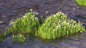 Córrego e Wildflowers da montanha filme