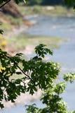Córrego pendendo sobre da planta Foto de Stock Royalty Free