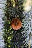 Cône à feuilles persistantes de pin Images libres de droits
