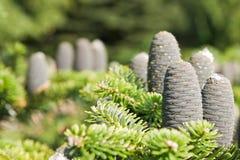 Cône d'arbre Images stock