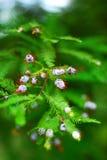 Cône d'arbre de Cypress Photos libres de droits