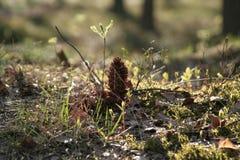 Cône dans la forêt Images stock